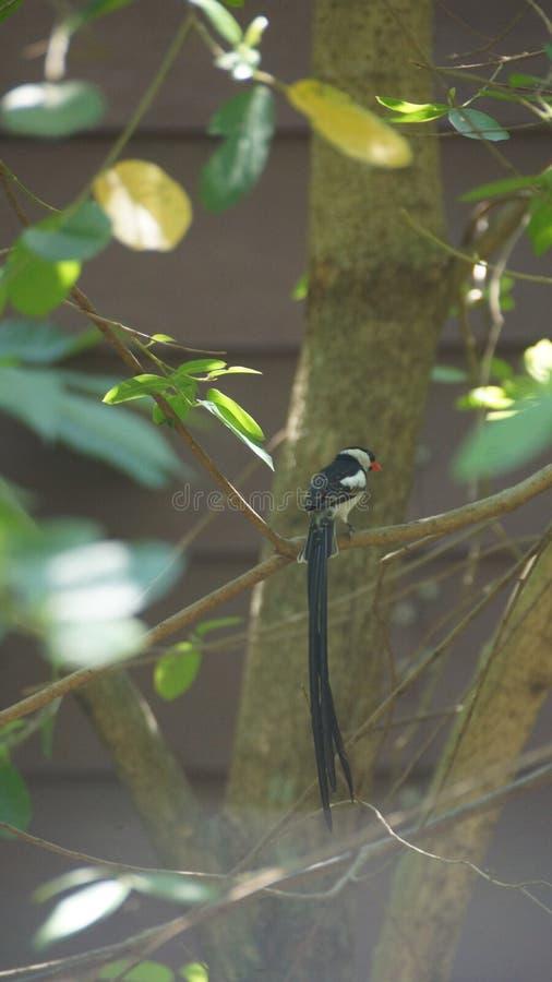 O whydah de cauda rosada é umas aves canoras pequenas com um notável flâmula-como a cauda em produzir homens imagens de stock royalty free
