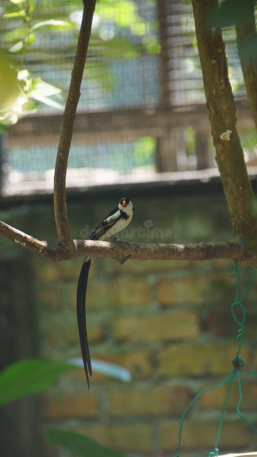 O whydah de cauda rosada é umas aves canoras pequenas com um notável flâmula-como a cauda em produzir homens imagem de stock