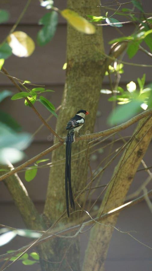 O whydah de cauda rosada é umas aves canoras pequenas com um notável flâmula-como a cauda em produzir homens fotografia de stock