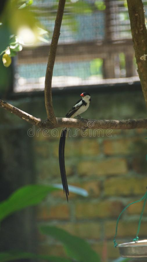 O whydah de cauda rosada é umas aves canoras pequenas com um notável flâmula-como a cauda em produzir homens fotos de stock royalty free