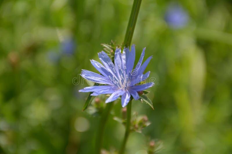 O wildflower azul floresceu no campo imagem de stock