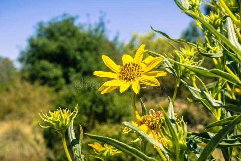 O wildflower do stricta do Grindelia floresce em um dia ensolarado, Califórnia fotografia de stock