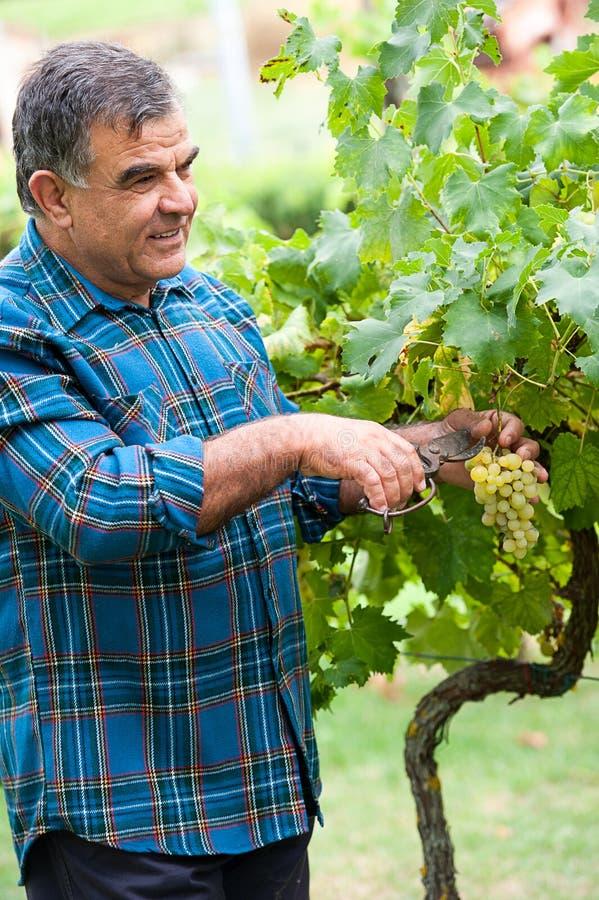Download O Winemaker Superior Corta Os Galhos Imagem de Stock - Imagem de controle, merlot: 26517717