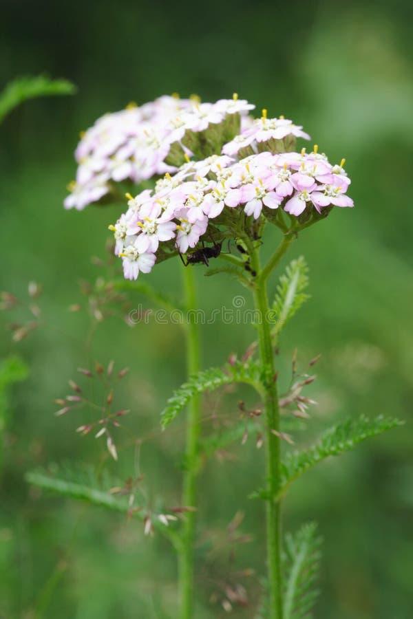 O Yarrow floresce (o millefolium de Achillea) fotografia de stock