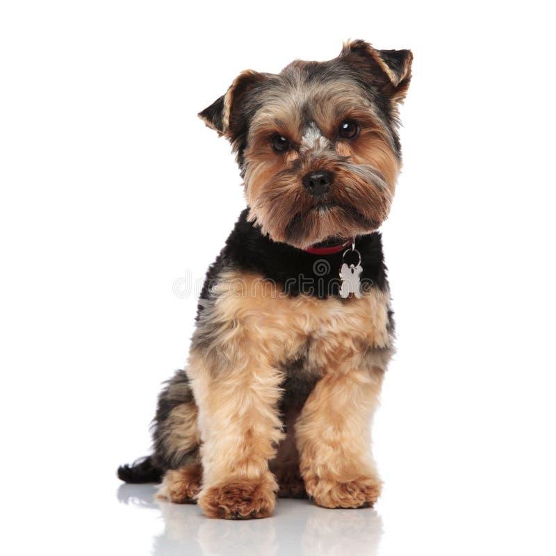 O yorkshire terrier bonito que veste o colar vermelho senta-se fotos de stock royalty free
