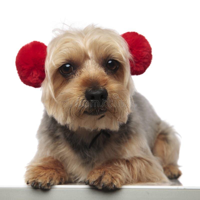 O yorkshire terrier senta capas protetoras para as orelhas vermelhas vestindo imagens de stock royalty free