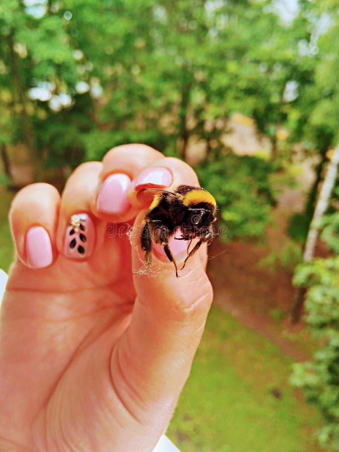 O zangão caiu nas mãos de uma mulher Os pregos com um tratamento de mãos bonito mantêm o inseto imagens de stock royalty free
