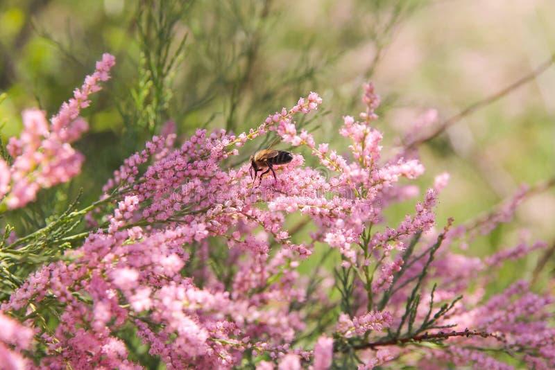 O zangão recolhe um nekar das flores do tamarix imagens de stock