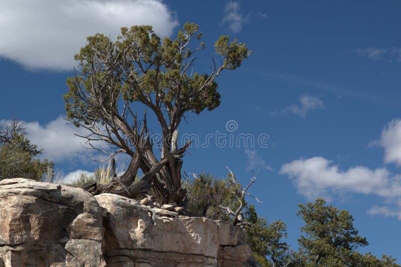 O zimbro de Utá é a árvore a mais comum na grande bacia e é distribuído extensamente durante todo o oeste árido [ fotos de stock royalty free