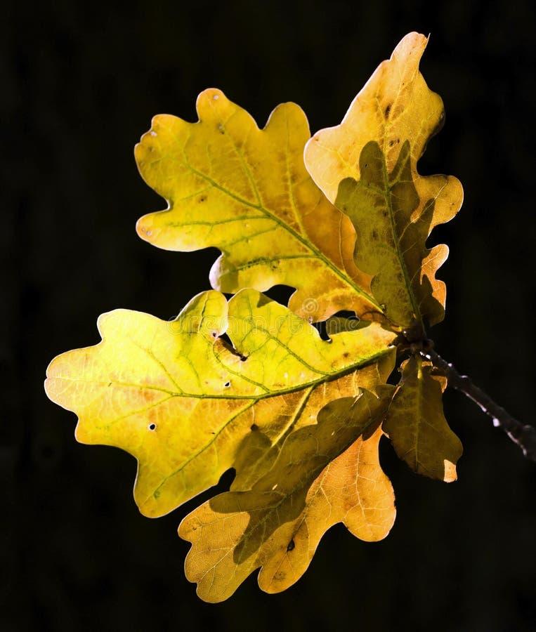 Download Oak stock image. Image of park, leaves, arboreal, forest - 12072913