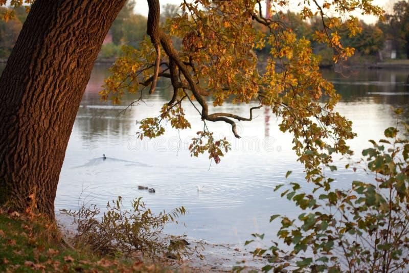 oak arkivfoton
