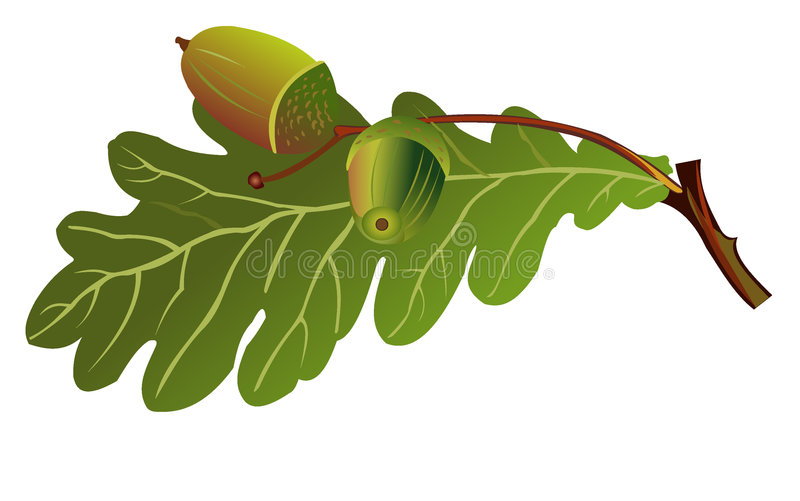Oak stock illustration