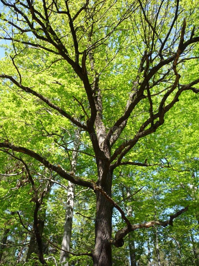 Oak royaltyfria bilder
