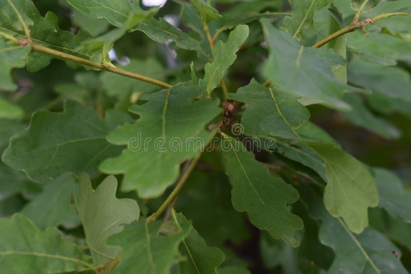 oak royaltyfri foto