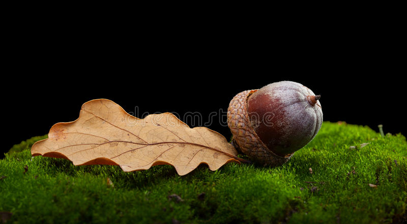 Oak abscissed leaf and acorn royalty free stock image