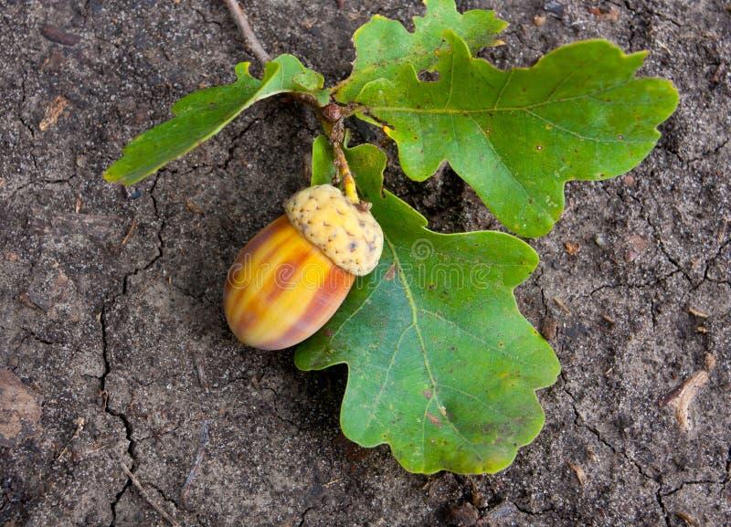 Download Oak acorn stock image. Image of autumn, closeup, outdoor - 26878823