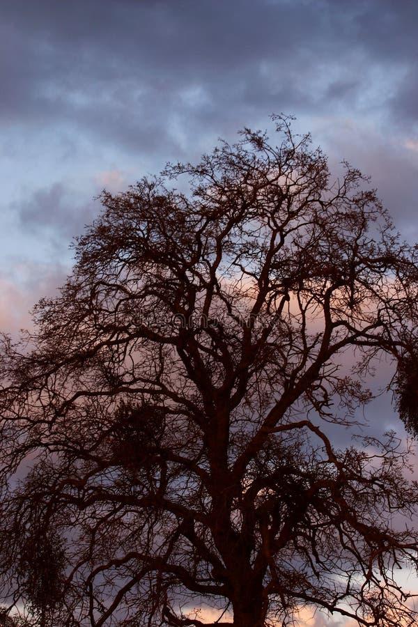 Oak Against Sunset Royalty Free Stock Photography