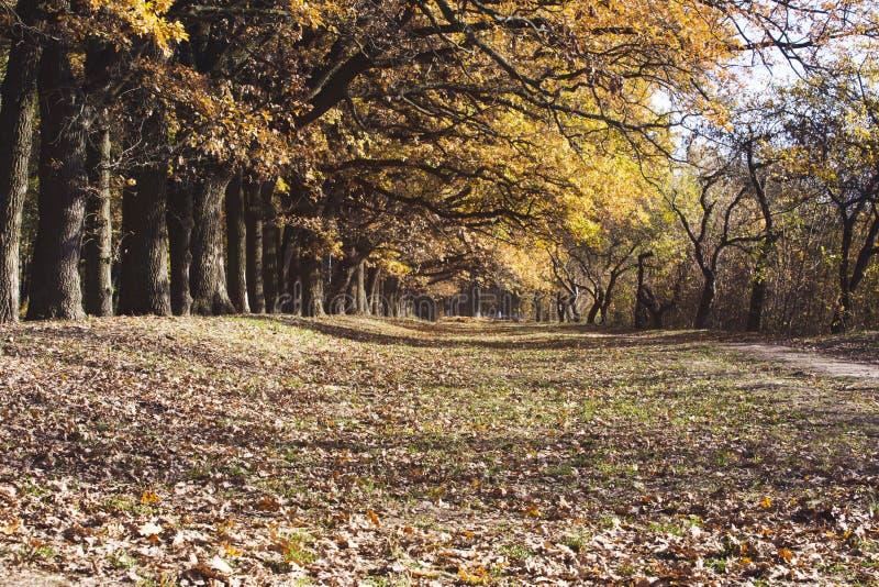 Oak alley in autumn stock photo