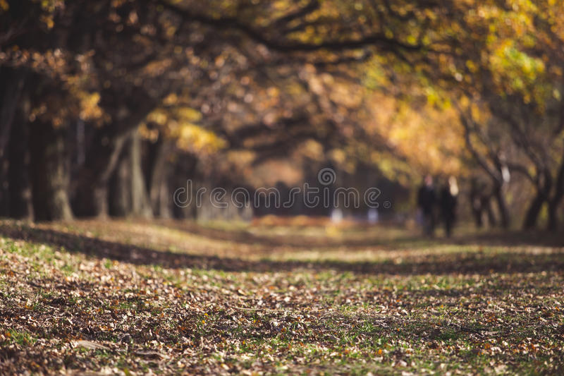 Oak alley in autumn stock image