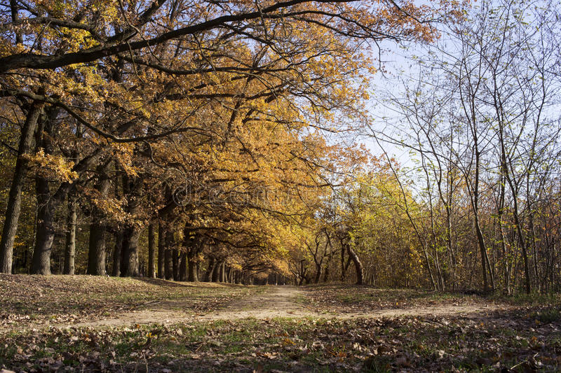 Oak alley in autumn stock images
