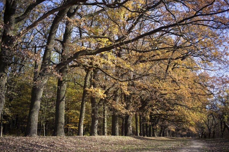 Oak alley in autumn stock photos