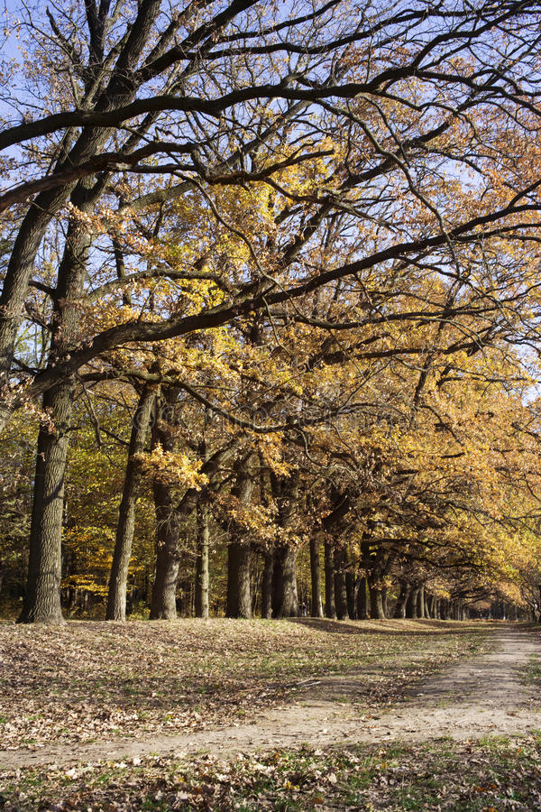 Oak alley in autumn royalty free stock photography