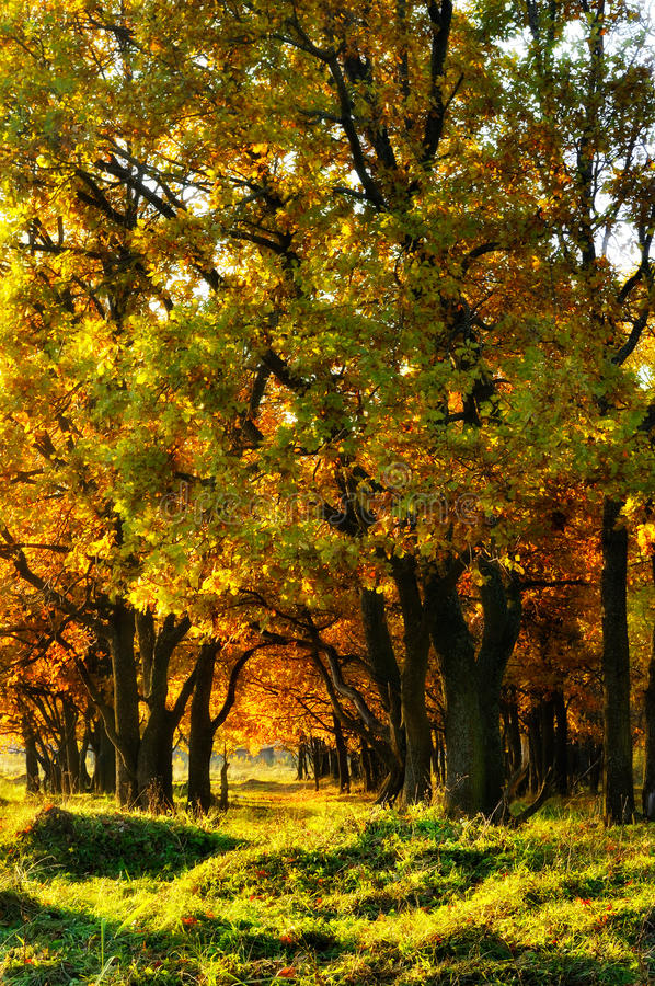Oak alley in autumn royalty free stock image