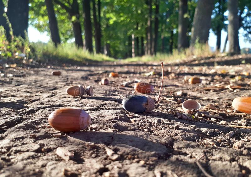Oak alley in the autumn warm day, acorns on the ground royalty free stock photo