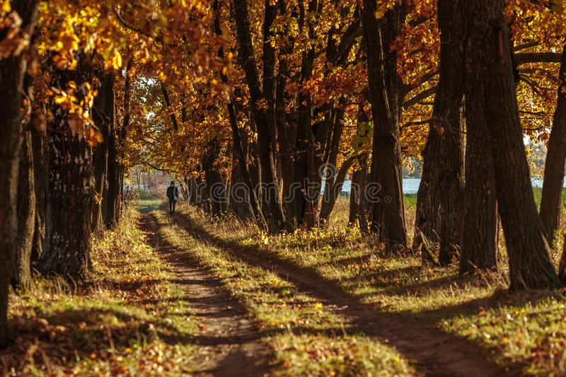 Oak alley and road stretching into the autumn at sunset. Man walking along the alley. stock image