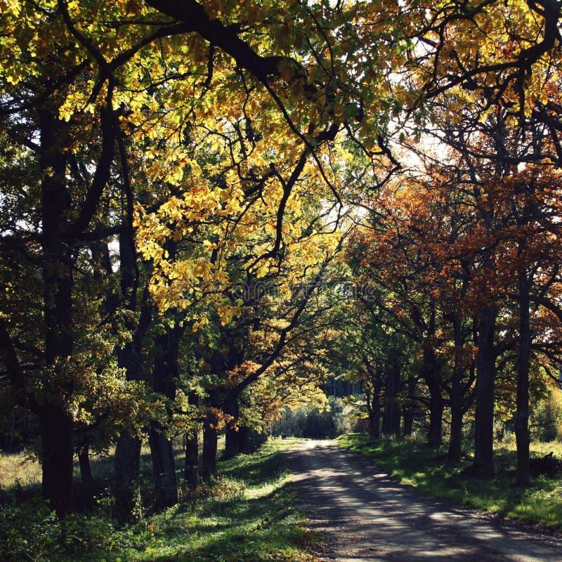 Oak alley. Yellow autumn leaves. Valaam island. stock photos