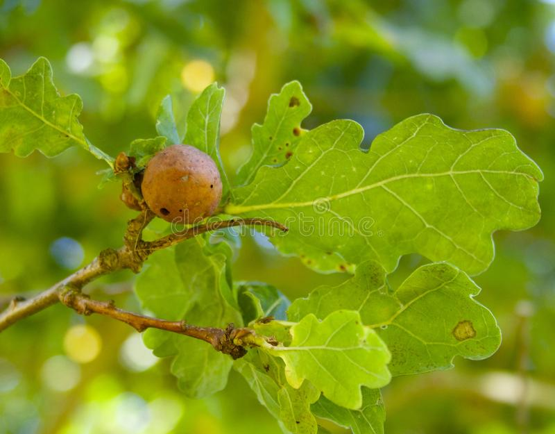 Oak apple gall. Each apple gall only has one larva inside. When the larva is full-grown, it pupates (resting stage) and comes out as an adult wasp. These adult royalty free stock photos