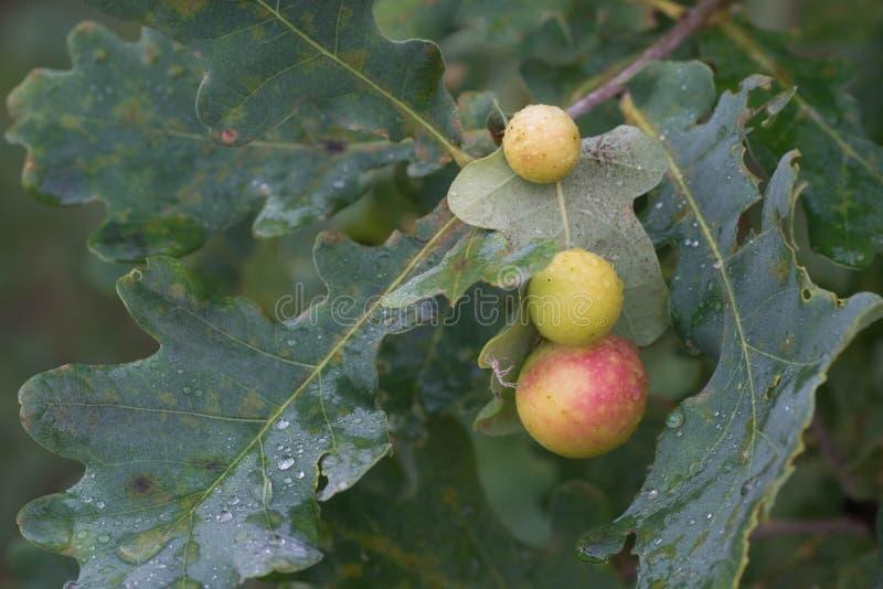 Oak apple or oak gall on oak leaves. Macro stock image
