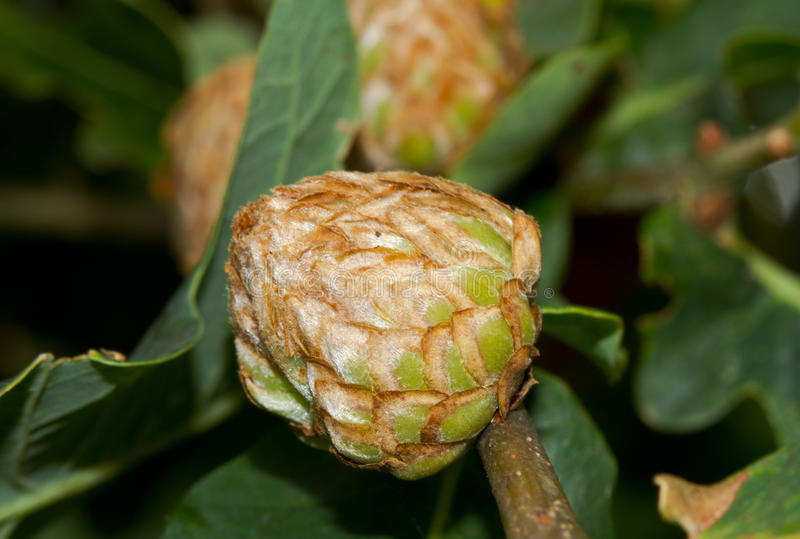 Oak artichoke gall. The gall of the gall wasp Andricus foecundatrix, on an Oak royalty free stock image
