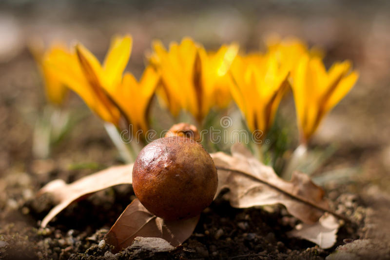 Oak ball royalty free stock images