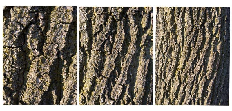 Oak bark royalty free stock image