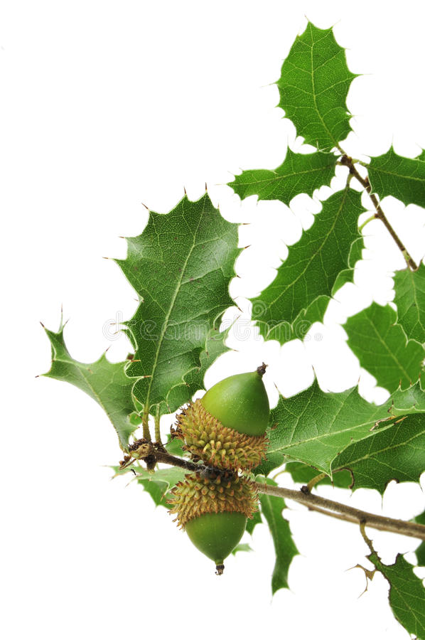 Download Oak Branch Stock Photo - Image: 16365120