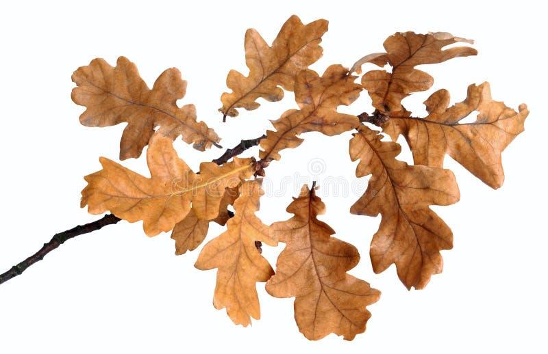 Oak branch stock photography