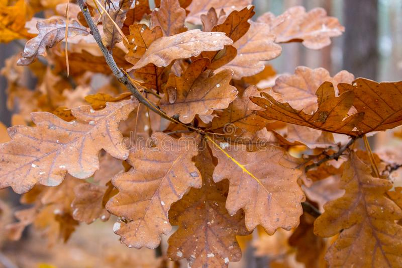 Oak branch with dry brown leaves. Golden leaves in oak forest. Autumn nature concept. Fall concept. October nature closeup. Orange leaves on the tree royalty free stock photography