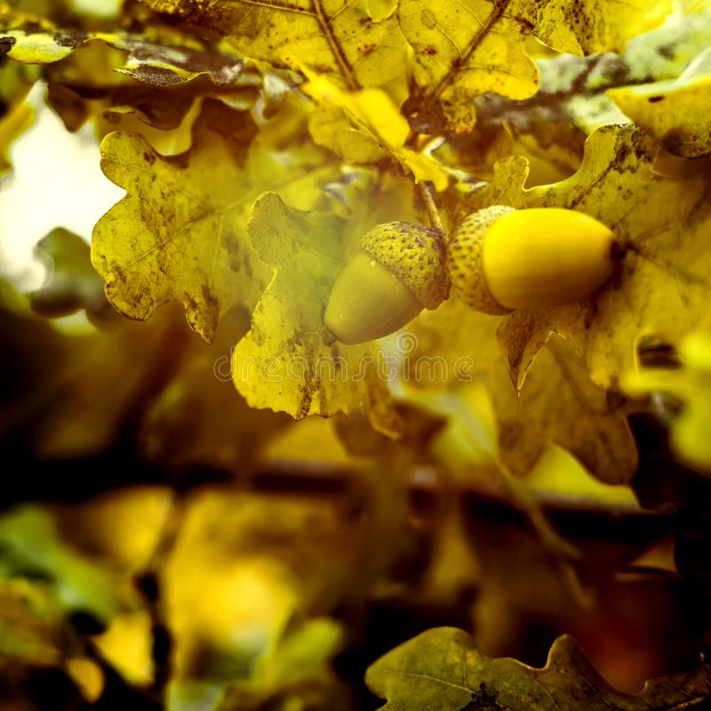 Oak branch with green leaves and acorns on a sunny day. Oak tree. In summer. Blurred leaf background with bokeh lights. Closeup stock photo