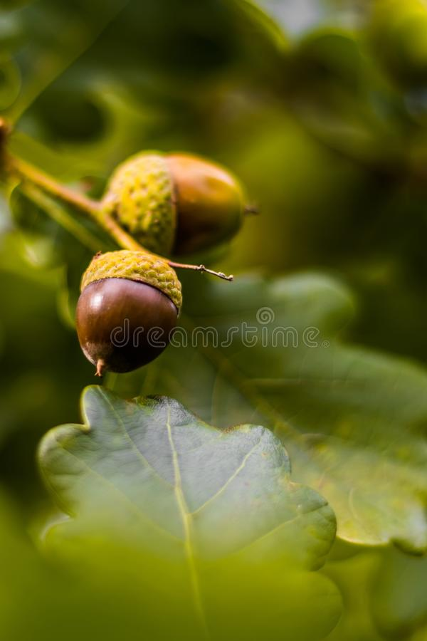 Oak branch with green leaves and acorns on a sunny day. Oak tree. In summer. Blurred leaf background with bokeh lights. Closeup stock images