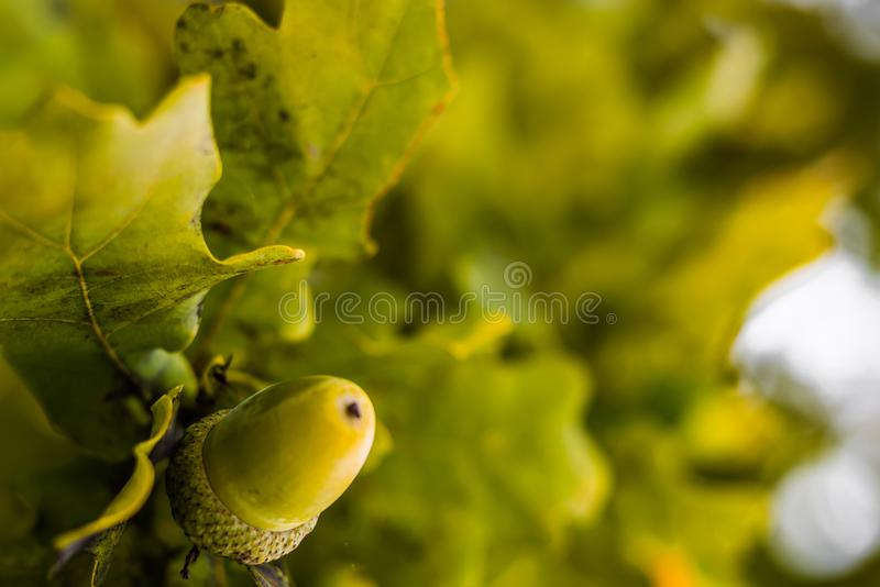 Oak branch with green leaves and acorns on a sunny day. Oak tree. In summer. Blurred leaf background with bokeh lights. Closeup royalty free stock images