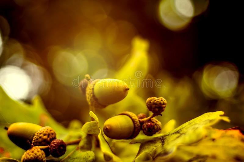 Oak branch with green leaves and acorns on a sunny day. Oak tree. In summer. Blurred leaf background with bokeh lights. Closeup royalty free stock image