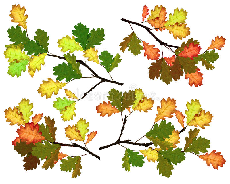Download Oak branches stock illustration. Image of autumn, nature - 21378801