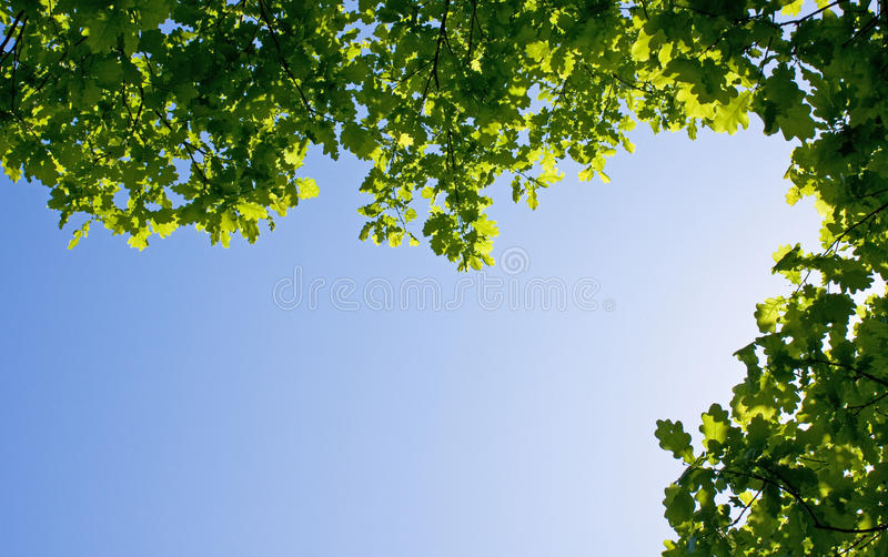 Download Oak branches on blue sky stock photo. Image of leaves - 15531748