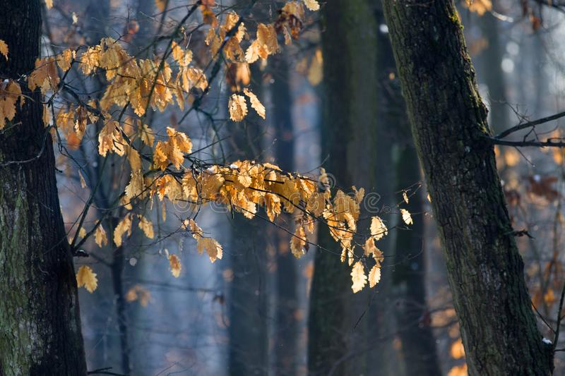 Oak branches with dry leaves in winter. Close up of oak tree with dry leaves on branches in winter time in forest stock photography