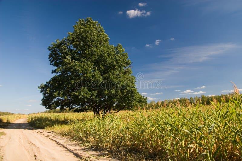Oak on corn field royalty free stock photo