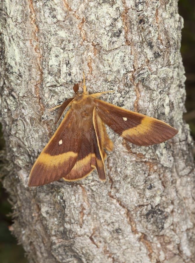 Oak Eggar (Lasiocampa Quercus) Royalty Free Stock Photos
