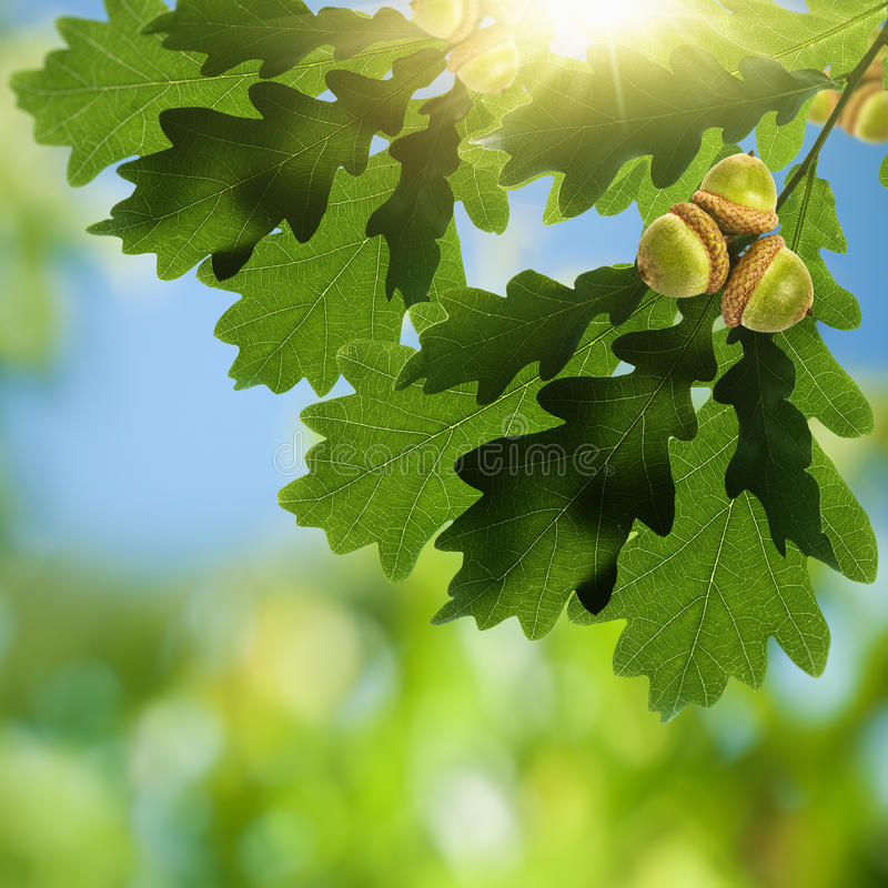 Free Oak Foliage With Acorn Stock Images - 41392614