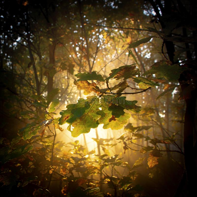 oak forest in autumn, with the sun& x27;s rays filtering through the branches royalty free stock photos