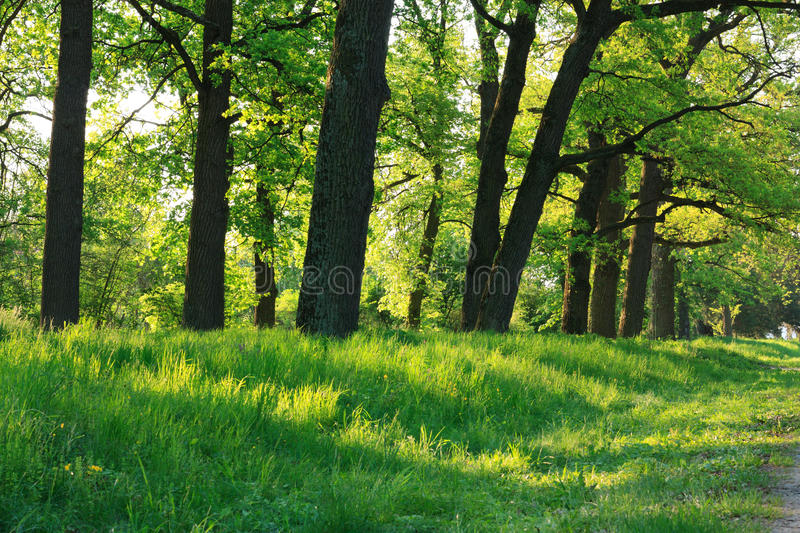 Oak forest in early spring royalty free stock image